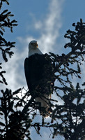 Bald Eagle in tree at Yachats, Oregon.
